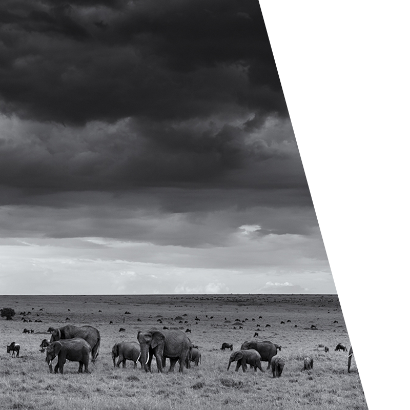 Bravr Online Strategy background black and white image of elephants