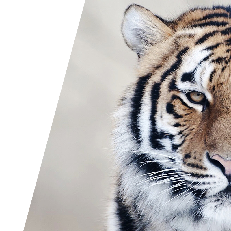 Close up image of tiger for Bravr Digital Content background image