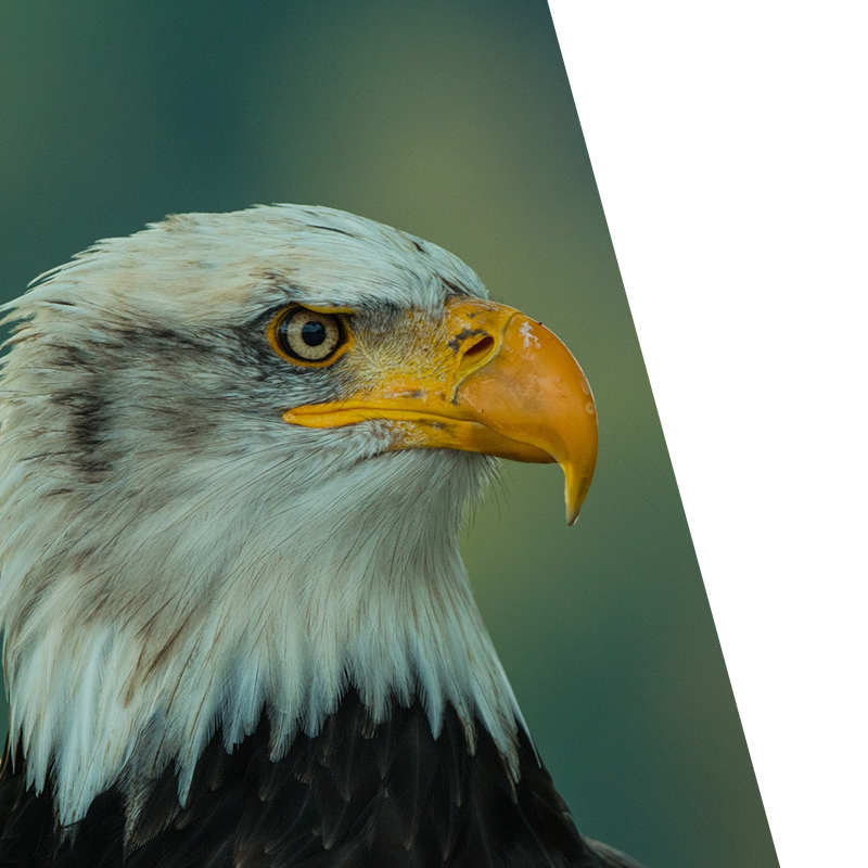 close up of an eagle staring