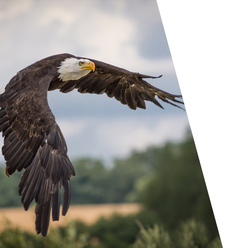 eagle flying over fields