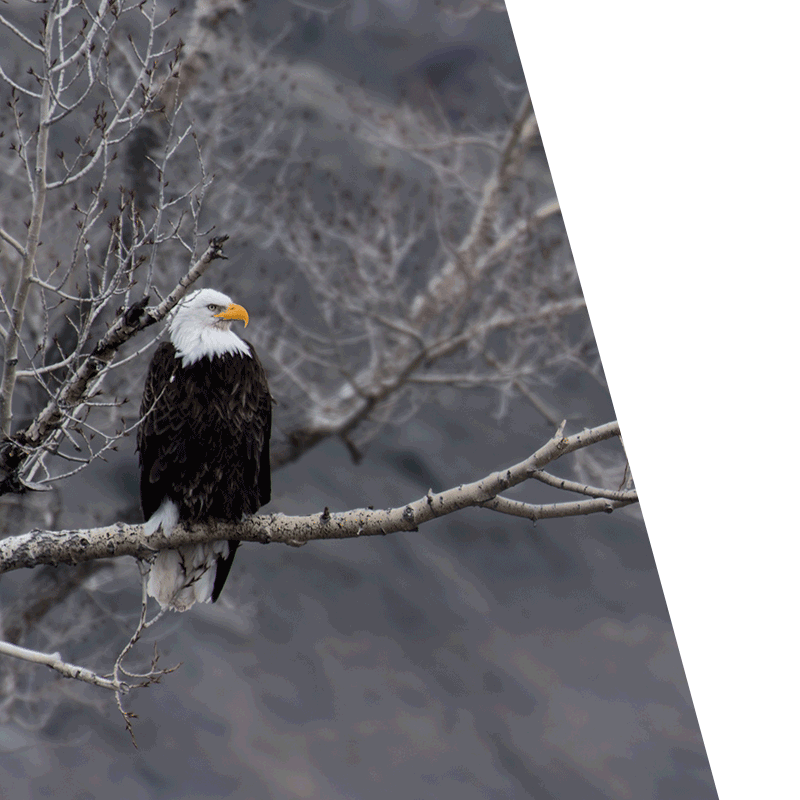 eagle perched on a branch in winter