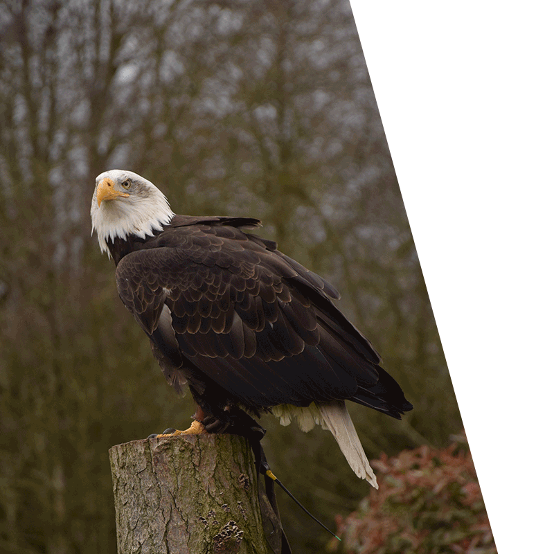 eagle perched on top of a tree stump
