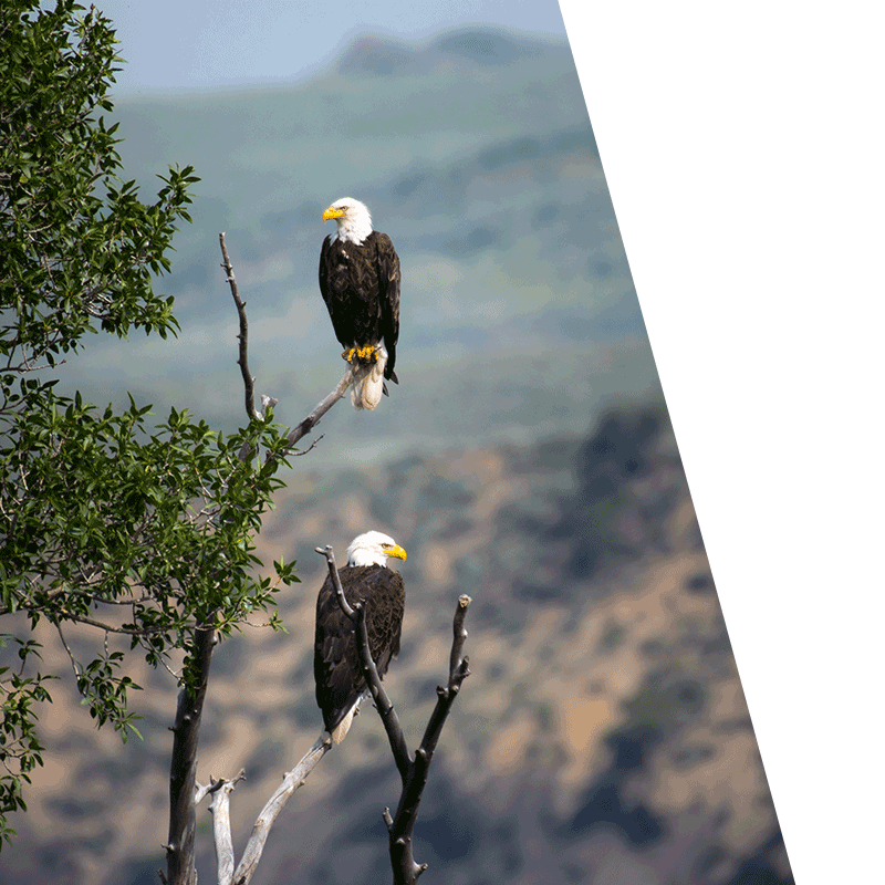 two eagles perched in a tree