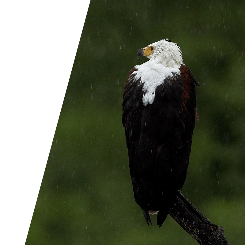eagles perched on a branch in the rain
