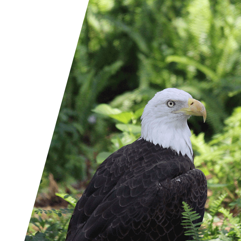 eagle perched in bushes