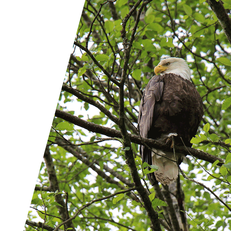 eagle perched on a branch in a tree