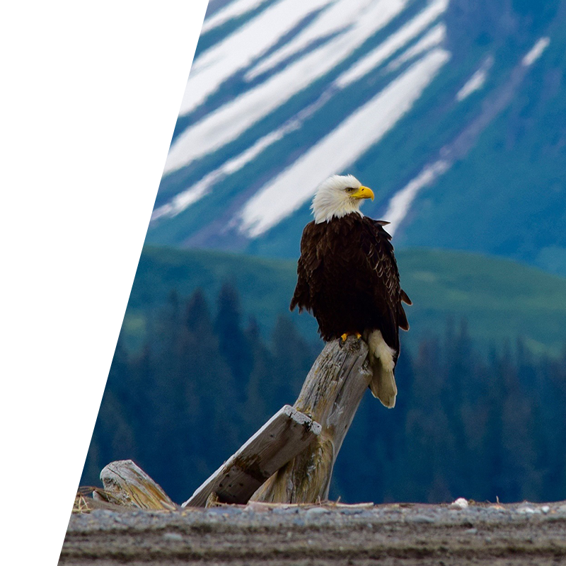 eagle perched on curved tree stump