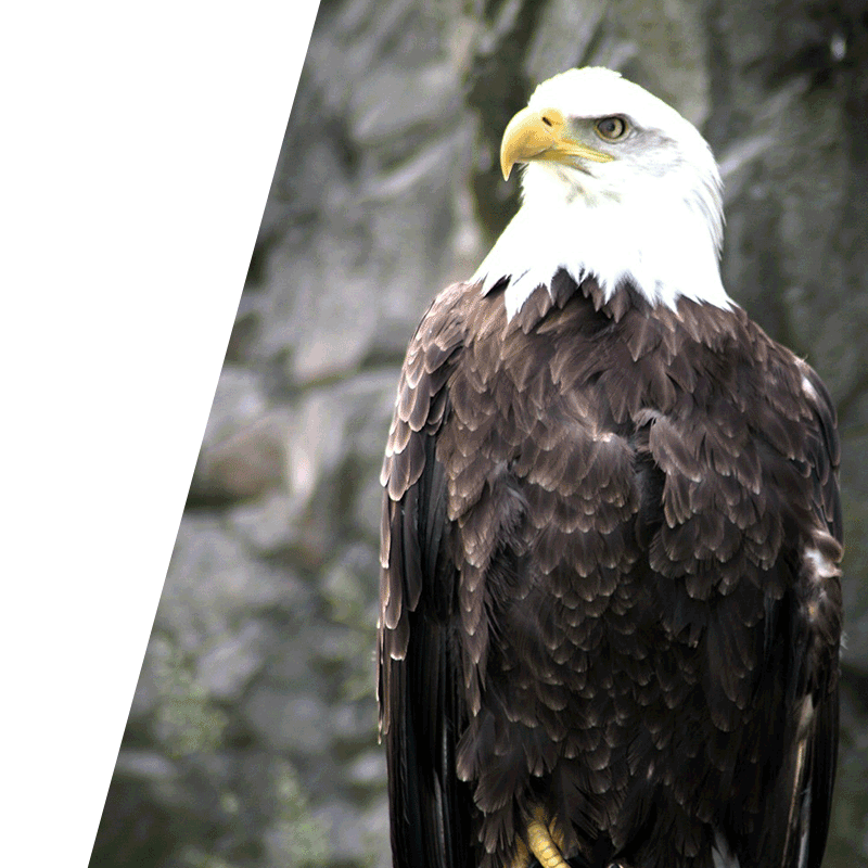 eagle perched upright looking into the distance