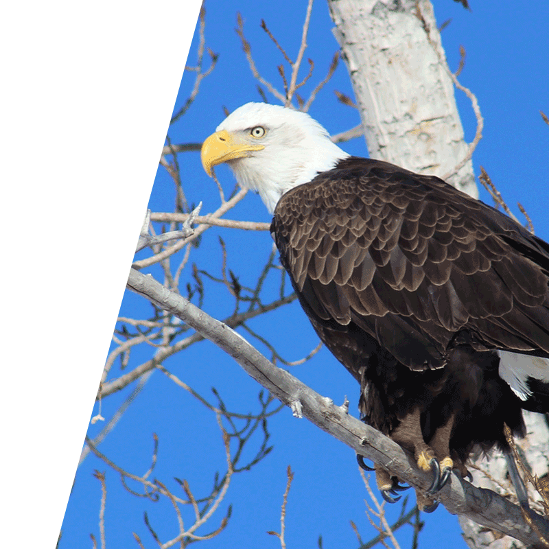 eagle perched on branch in front of blue sky